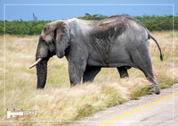 African Elephant crossing a street in the Nxai Pan National Park in Botswana during summer time