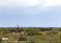 Group of African Elephants in the Nxai Pan National Park in Botswana during summer time