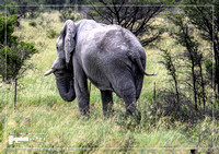 African Elephant in the Nxai Pan National Park in Botswana during summer time