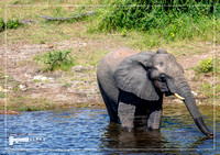 Elephants bathing and playing in the water of the chobe river in Botswana