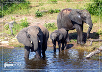 Elephants near the water of the chobe river in Botswana