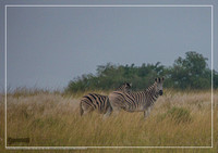 Plain Zebras in the morningly savannah at Ezulwini Game Lodge