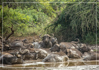 A herd of african buffolos lying in the mud at the Hluhluwe iMfolozi Park