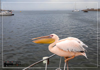 A pelican is balancing on a railing on a boat at Walfis Bay in western Namibia