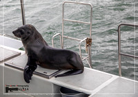 A Cape Fur Seals on a boat at the Atlantic Ocean near Walfis Bay in western Namibia