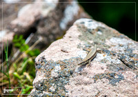 A lizard is sitting on a stone in the warm sun