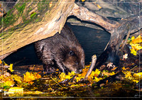 An european Beaver at a small river in southern Germany